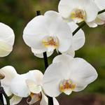 33. Orhideea de la Orha